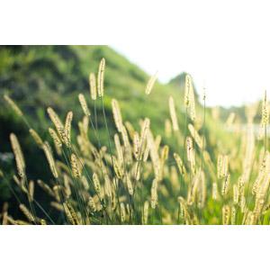 フリー写真, 植物, 雑草, エノコログサ(猫じゃらし), 緑色(グリーン)