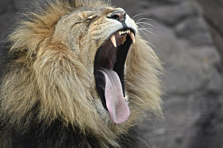 フリー写真 あくび中のオスライオン