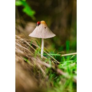 フリー写真, 菌類, 茸(キノコ), 動物, 昆虫, てんとう虫(テントウムシ)