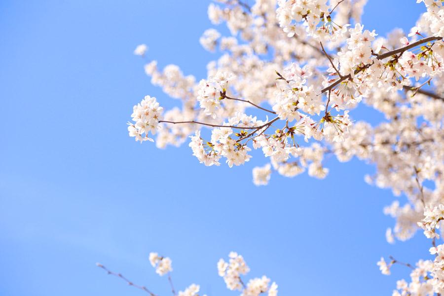 フリー写真 青空と桜の花
