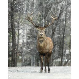 フリー写真, 動物, 哺乳類, 鹿(シカ), アメリカアカシカ(エルク), 雪, 冬
