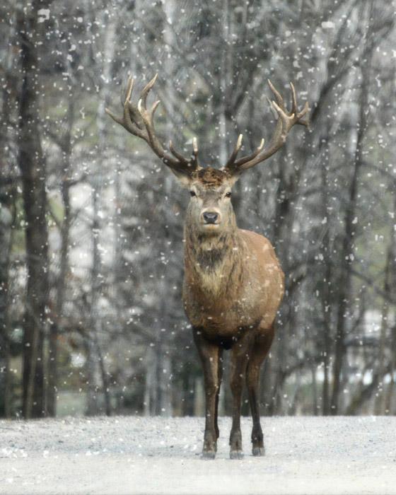 フリー写真 雪の中のアメリカアカシカ
