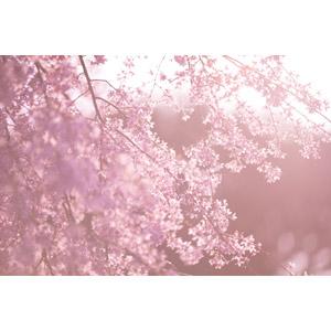 フリー写真, 植物, 花, 桜(サクラ), ピンク色の花, ピンク色, 春