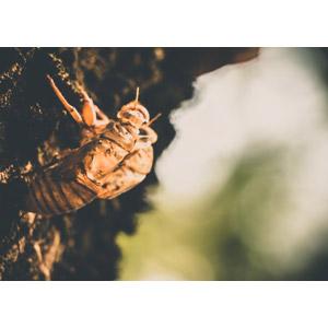 フリー写真, 昆虫, 蝉(セミ), 蝉の抜け殻