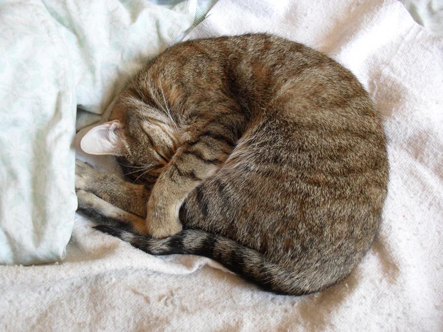 フリー写真 丸まって眠るキジトラ猫