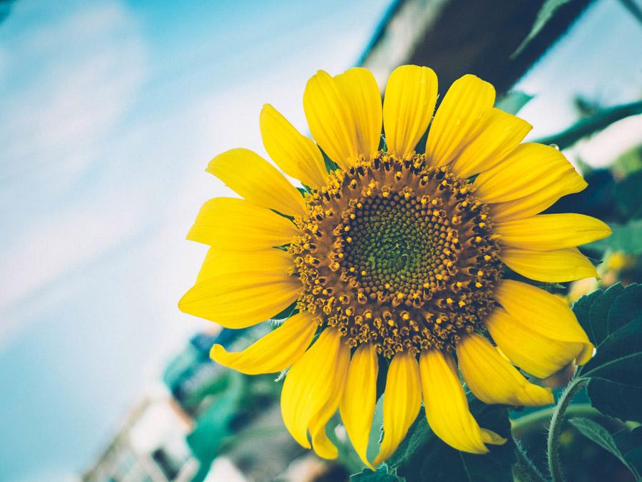 フリー写真 ひまわりの花