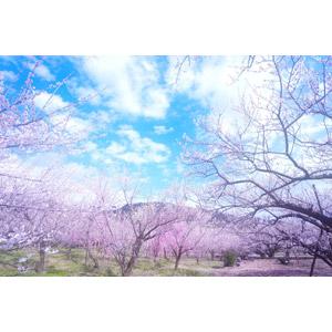 フリー写真, 風景, 樹木, 青空, 花, 梅(ウメ), ピンク色の花, 春