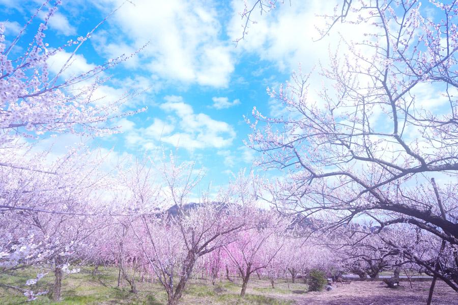 フリー写真 満開に咲いた梅の木々