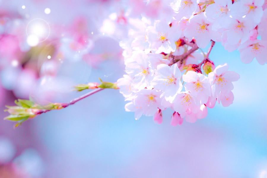 フリー写真 レンズフレアと桜の花