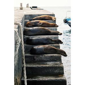 フリー写真, 動物, 哺乳類, アシカ, 階段, 寝る(動物)
