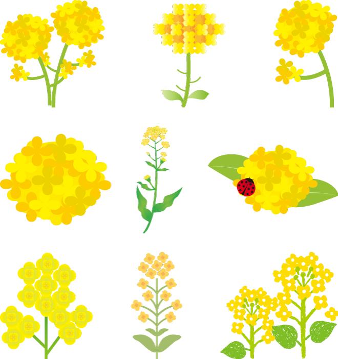 フリーイラスト 9種類の菜の花のセット