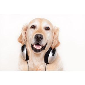 フリー写真, 動物, 哺乳類, 犬(イヌ), ゴールデン・レトリバー, ヘッドホン(ヘッドフォン), 白背景, 音楽