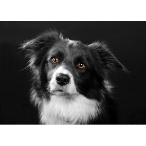 フリー写真, 動物, 哺乳類, 犬(イヌ), ボーダー・コリー, 黒背景