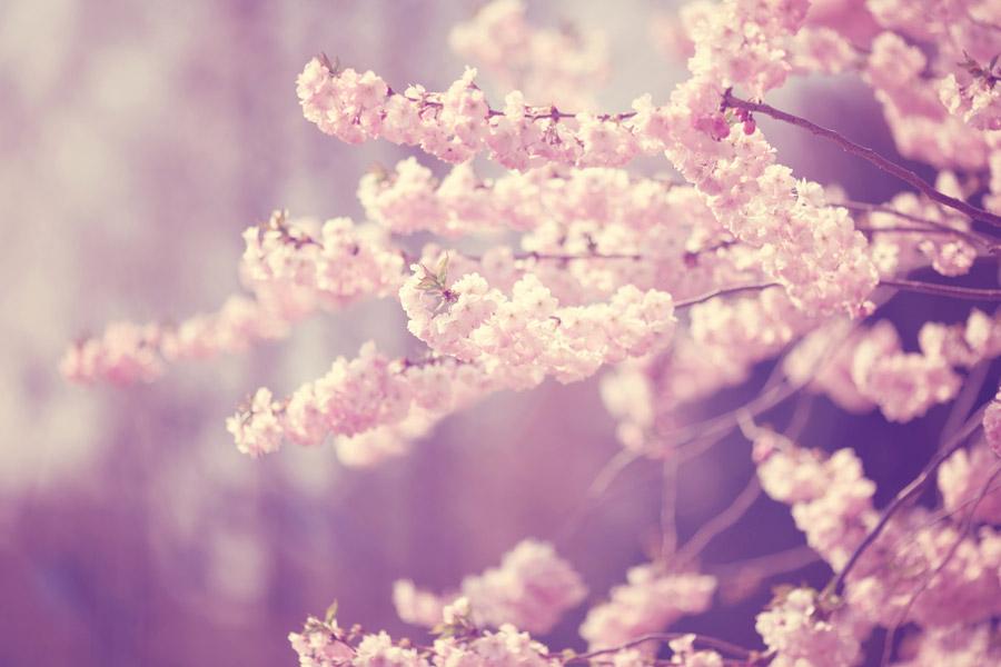 フリー写真 さくらの花と枝