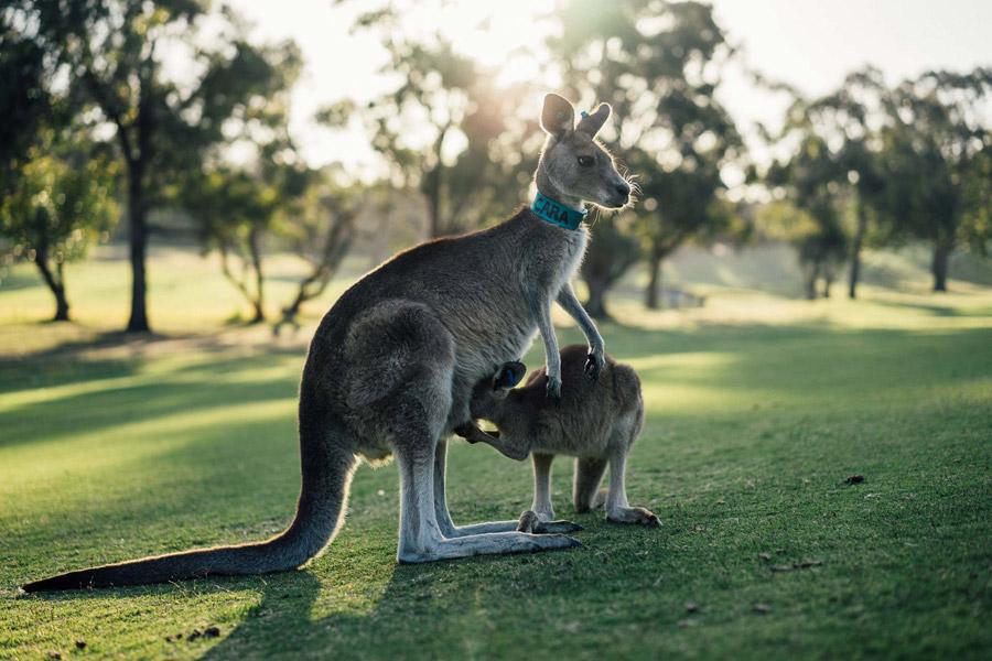フリー写真 母カンガルーの袋に顔をつっこむ子カンガルー