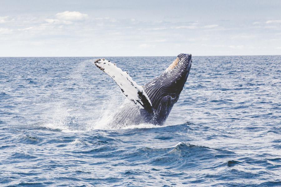 フリー写真 ブリーチング中のザトウクジラ