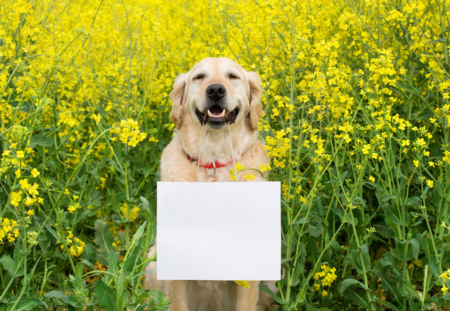 フリー写真 菜の花とメッセージボードを咥えるゴールデン・レトリバー