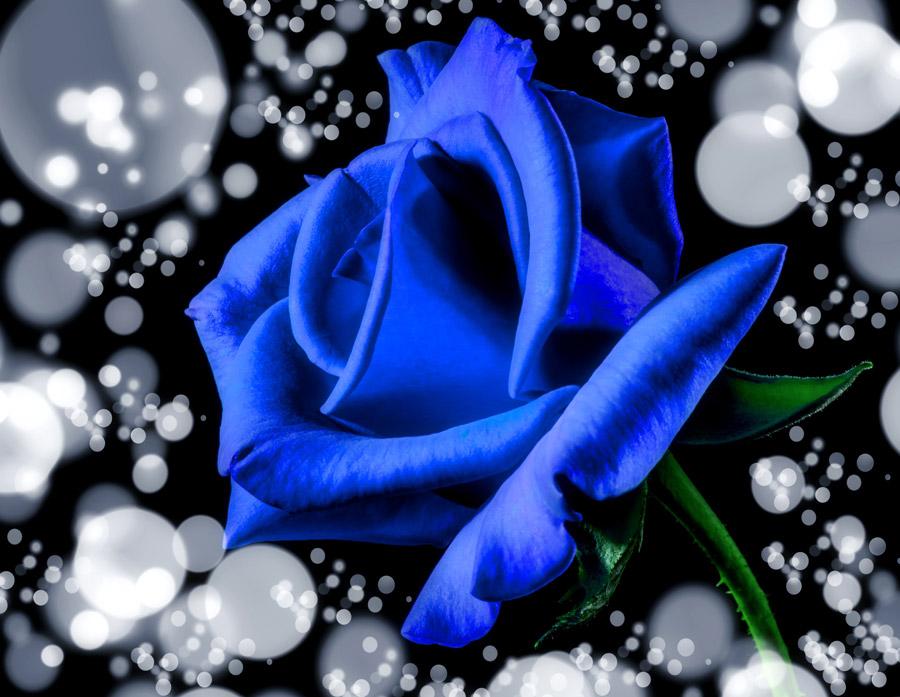 フリー写真 青色のバラの花