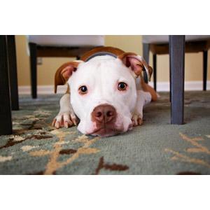 フリー写真, 動物, 哺乳類, 犬(イヌ), アメリカン・ピット・ブル・テリア