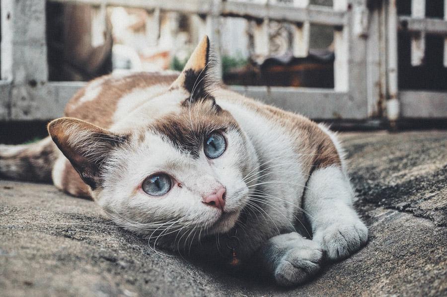 フリー写真 青い目の猫