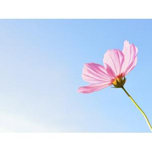 フリー写真, 植物, 花, コスモス(秋桜), ピンク色の花, 青空