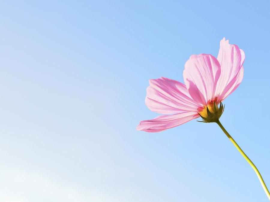 フリー写真 青空とコスモスの花