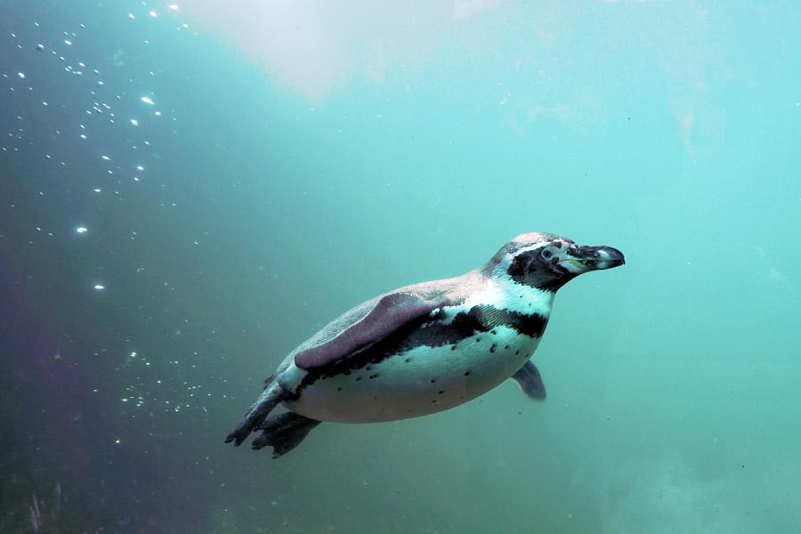 フリー写真 水中を泳ぐフンボルトペンギン