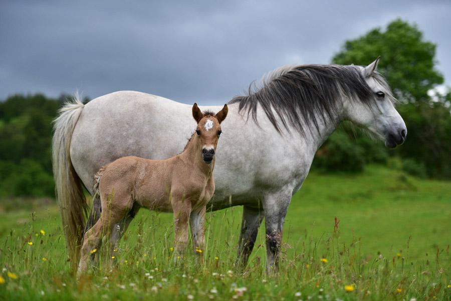 フリー写真 馬の親子