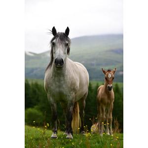 フリー写真, 動物, 哺乳類, 馬(ウマ), 親子(動物), 子供(動物)