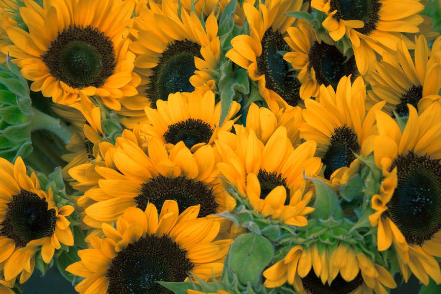 フリー写真 ヒマワリの花の背景
