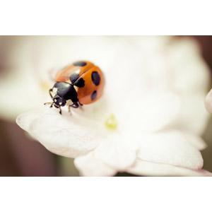 フリー写真, 動物, 昆虫, てんとう虫(テントウムシ)