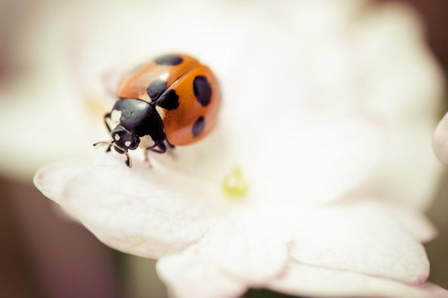 フリー写真 花の上のてんとう虫