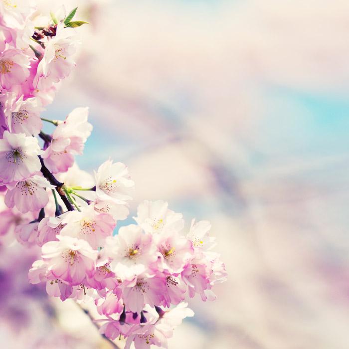 フリー写真 桜の花