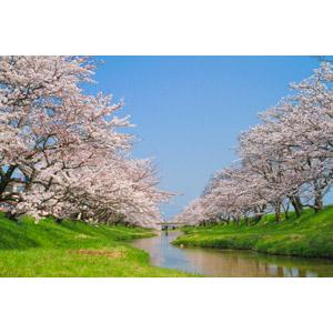 フリー写真, 風景, 花, 桜(サクラ), 河川, 樹木, 青空, 日本の風景, 島根県