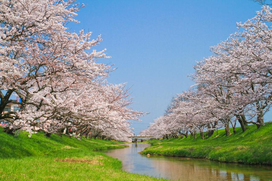 フリー写真 玉湯川堤の桜並木の風景