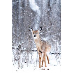 フリー写真, 動物, 哺乳類, 鹿(シカ), 雪, 冬