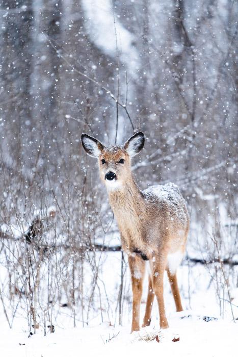 フリー写真 降り積もる雪と鹿