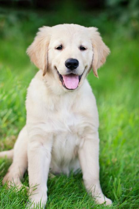 フリー写真 子犬のゴールデンレトリバー