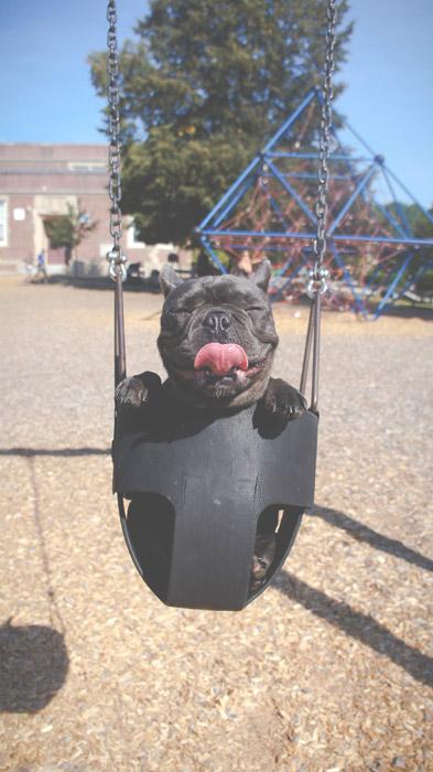 フリー写真 ブランコに乗ってご満悦のフレンチブルドッグ