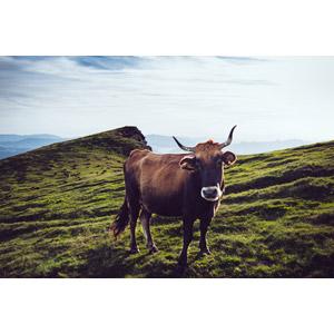 フリー写真, 動物, 哺乳類, 牛(ウシ)