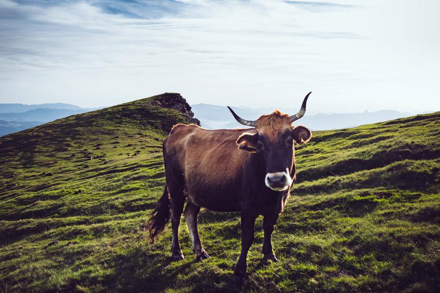 フリー写真 放牧された牛
