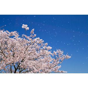 フリー写真, 風景, 樹木, 花, 桜(サクラ), 桜吹雪, 春, ピンク色の花, 青空, 日本の風景