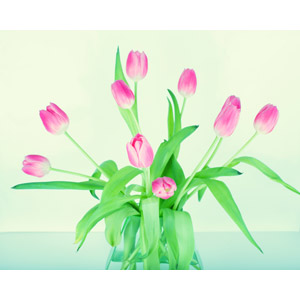 フリー写真, 植物, 花, ピンク色の花, チューリップ
