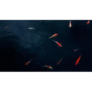 フリー写真, 動物, 魚類, 魚(サカナ), 鯉(コイ)