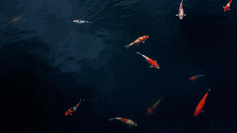 フリー写真 池の鯉