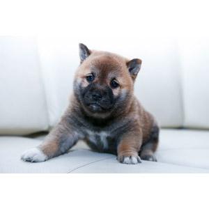 フリー写真, 動物, 哺乳類, 犬(イヌ), 柴犬(シバイヌ), 子犬, 子供(動物)