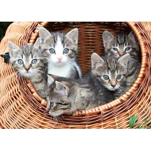 フリー写真, 動物, 哺乳類, 猫(ネコ), 子猫, キジトラ猫, キジ白猫
