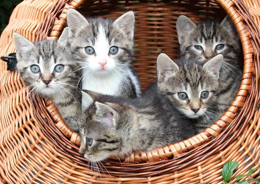 フリー写真 バスケットの中の5匹の子猫