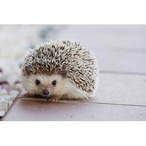 フリー写真, 動物, 哺乳類, 鼠(ネズミ), ハリネズミ