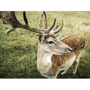 フリー写真, 動物, 哺乳類, 鹿(シカ)